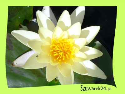 "Lilia wodna jasnożółta – Nymphaea Marliacea ""Chromatella"""