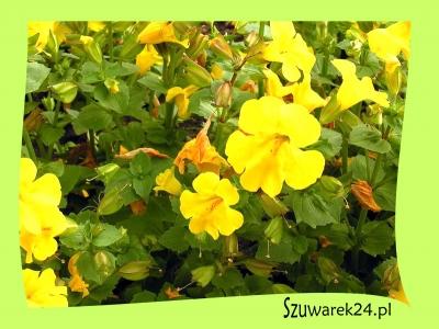 Kroplik żółty