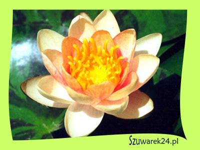 """Lilia wodna pomarańczowo-różowa - Nymphaea """"Aurora''"""