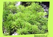 Wywłócznik wodny (Myriophyllum Aquaticum)