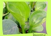 Żabieniec - babka drobnokwiatowa (Alisma parviflora)