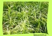 Turzyca palmowa