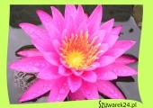 Lilia wodna intensywnie różowa – Nymphaea ,,Mayla''