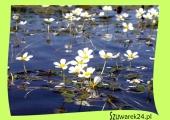 Jaskier wodny