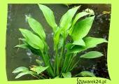 Żabieniec - babka wodna