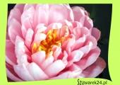 """Lilia wodna różowa – Nymphaea ,,Lilypons"""""""